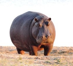 hipopotamo parado