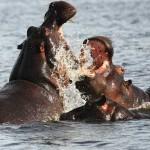 hipopotamos peleando