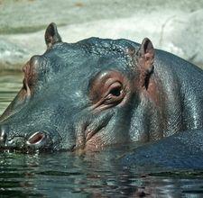 hipopotamo en agua