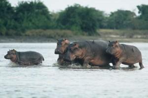 hipopotamo comun