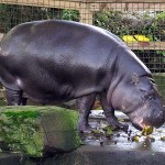 hipopotamo pigmeo en zoo