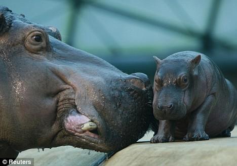 Hipopótamos bebés » HIPOPOTAMOPEDIA