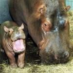 bebe hipopotamo boca abierta