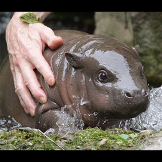 bebe hipopotamo